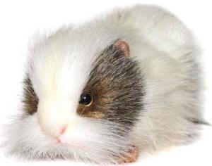фото Hansa Морская свинка белая 20 см 4392